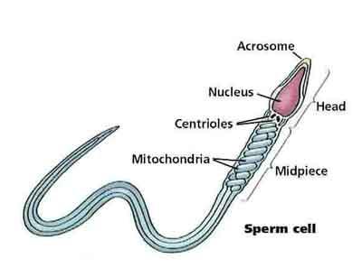 A Sperm Cell